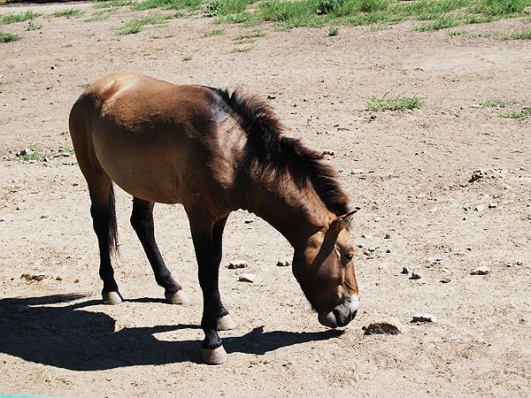 Koń Przewalskiego(Fot. Konstanty Czawaga)