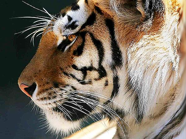 Tygrysia wyliczanka