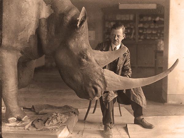 Odtwarzanie cielska nosorożca w Muzeum Przyrodniczym w Krakowie (Fot. geology.cwru.edu)