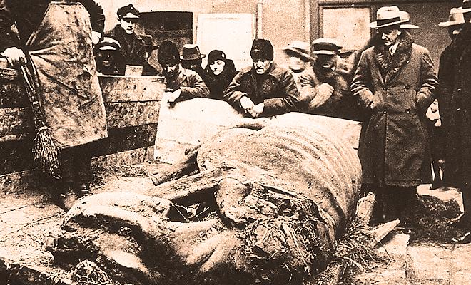 Nosorożec włochaty ze Staruni