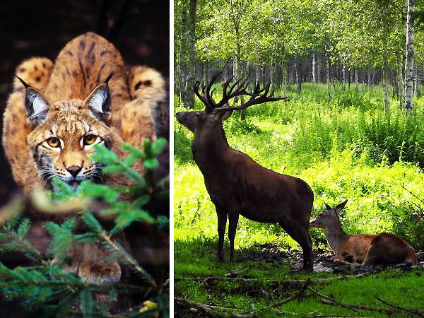 Ryś euroazjatycki Lynx lynx (Fot. C. Ćwikowski/iop.krakow.pl, sxc.hu)