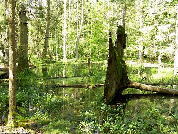 Puszcza Białowieska jest pełna miejsc podmokłych i bagiennych jeziorek (Fot. top.turystyka.pl)
