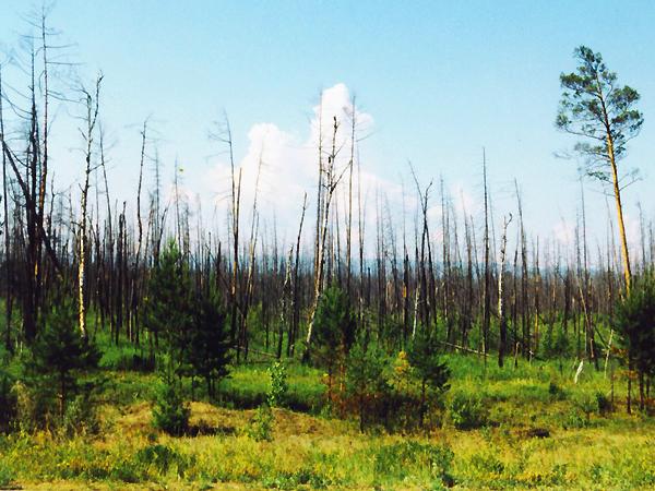 Przerażający, martwy las ciągnie się kilometrami (Fot. Wojciech Grzelak)