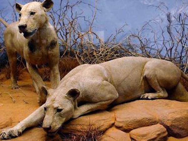 Wypchane lwy w muzeum Chicago (Wikipedia)